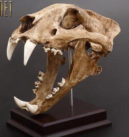 Siberian Tiger Skull