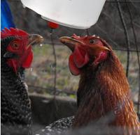 Комплектующие для кормушек 10pcs/lot Chicken / Duck Screw In Poultry Water Nipple Drinker