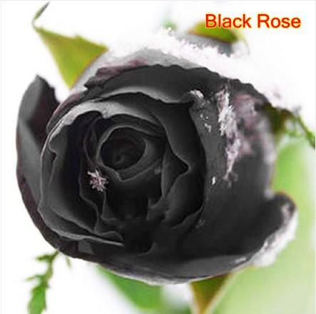 Acheter livraison gratuite 24 sortes roses en pot graines total 240 graines - Semer roses tremieres septembre ...