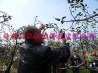 Режущий инструмент для сада Bestselling electric peach tree shears