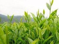 Белый чай Qualitt * 500