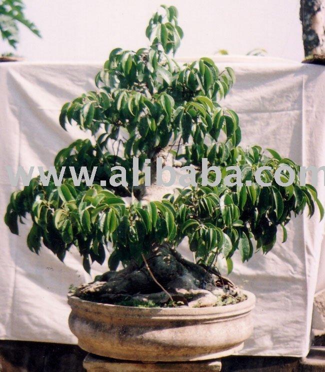Bonsais ficus benjamina bonsai identificaci n del - Ficus benjamina precio ...