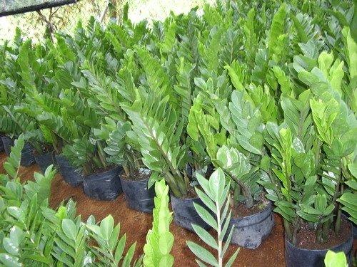 http://img.alibaba.com/photo/100969330/Zamioculcas_Zamiifolia_Plant.jpg