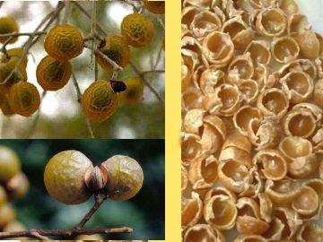 Plantas jabonosas Sapindus_Mukorossi_Soap_Nuts_For_Washing_Clothes