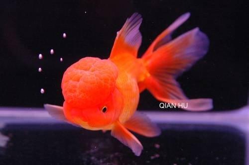 Qual il vostro animale domestico preferito yahoo answers for Pesce oranda