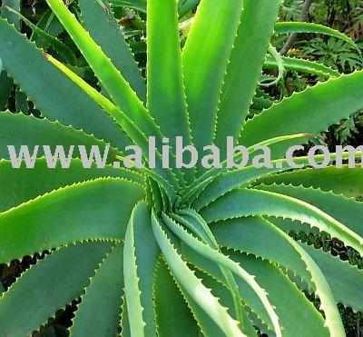 Aloe vera juices help to