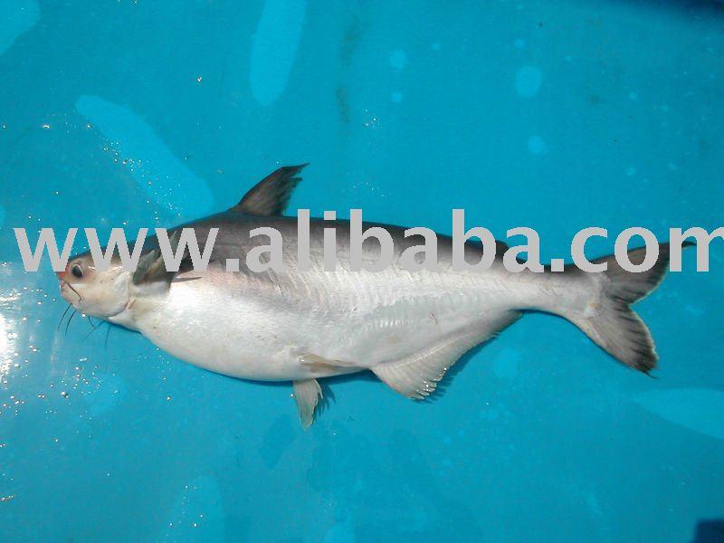 Puedo suministro de pescado basa procedentes de vietnam for What kind of fish is basa