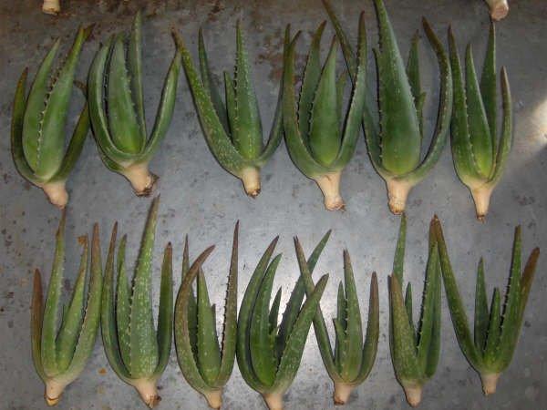 Plantas de aloe vera plantas le osas identificaci n del producto 108882334 - Planta de aloe vera precio ...
