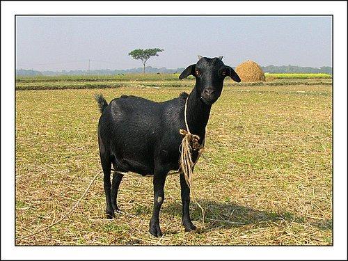 wallpapers of animal  black bengal goat photos