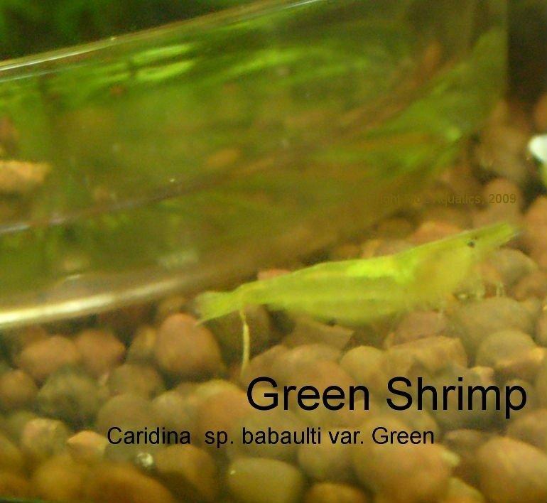 anao de jardim resumo:Aquário ornamental camarão anão-Aquários e acessórios-ID do