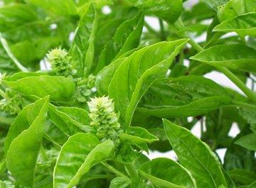 Basil Ocimum Basilicum  موسوعة للخضر و الفواكه وفوائدها