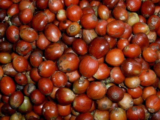 Плоды кофейного дерева сорта Робуста