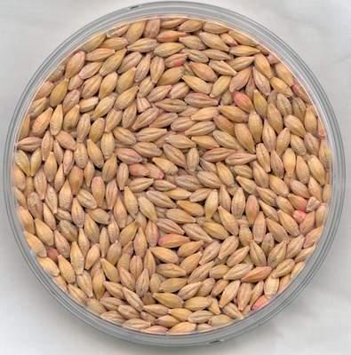 Feed Barley Grade2