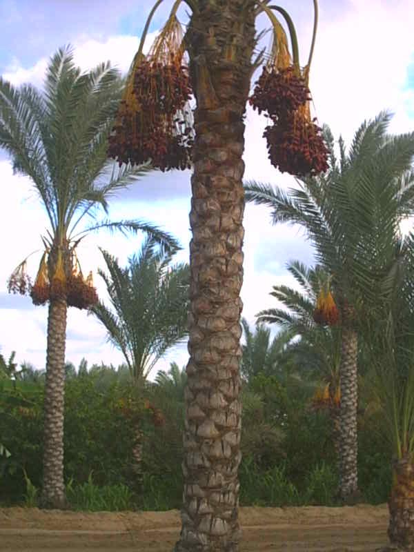 معلومات عن النخيل  Palm_Tree_Phoenix_Dactylifera_From_Egypt
