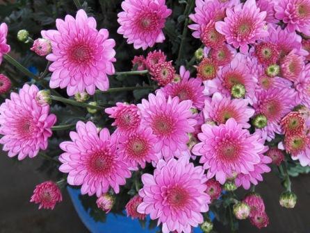Exotic Pink Chrysanthemum Flower