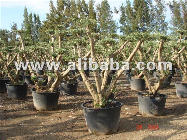 Pom pom albero di ulivo piante boscose id prodotto for Acquisto piante ulivo