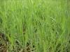 Jas Certificate Organic Barley Grass Powder