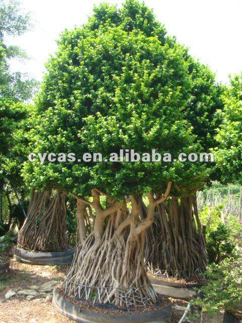 Ficus ficus bonsai plantas acu ticas identificaci n del - Variedades de ficus ...