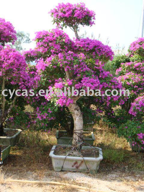 Bouganville piante di fioritura id prodotto 211820072 for Bouganville fioritura