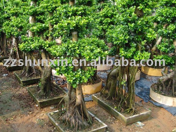 bonsai tree ficus fig retusa microcarpa elastic. Black Bedroom Furniture Sets. Home Design Ideas