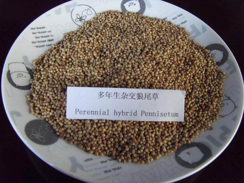 Artículo: Semilla orgánica, hibrida y Transgénica: mucho engaño y poca información Super_Good_Quality_Perennial_Hybrid_Pennisetum_Grass_Seed