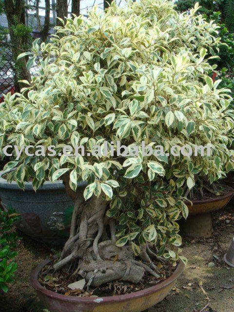 Microcarpa del ficus ficus bonsai ficus rbol bonsai - Variedades de ficus ...