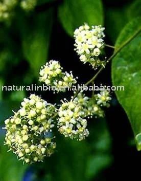 Les fleurs (ou plantes ) contre le cancer. - Page 2 Tripterygium_Wilfordii_Extract