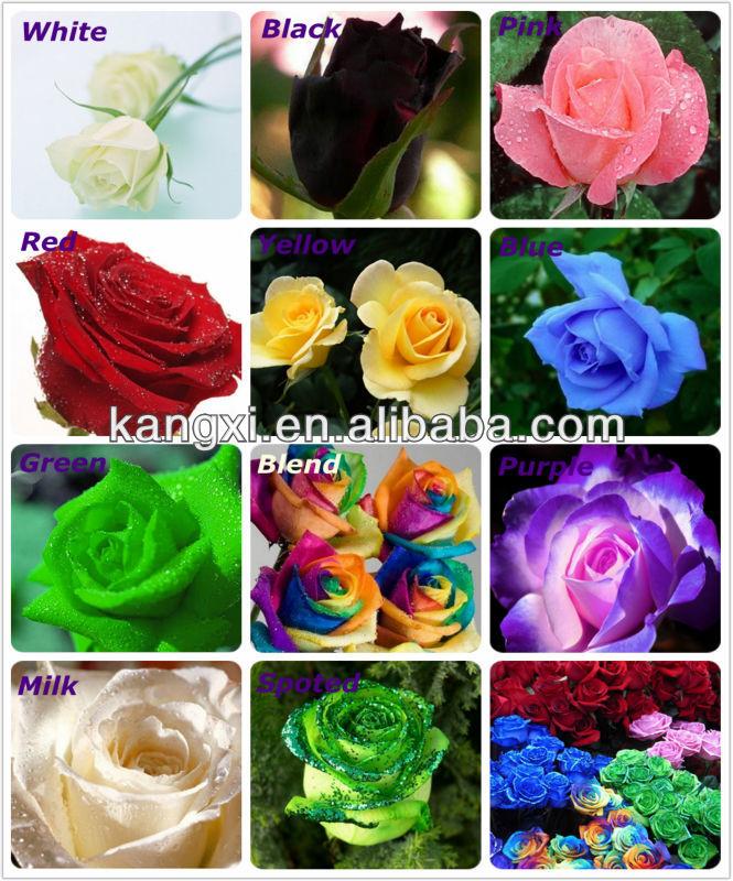 Germinazione di semi di rosa semi di fiori rosa arcobaleno for Vendita semi fiori