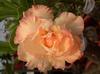Real Adenium obesum Seeds Orange Double Desert Rose Flower Seeds 5pcs Free Shipping