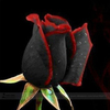1 Professional Pack, approx 50 Seeds / Pack, Rare Amazingly Beautiful Black Rose Flower with Red Edge Seedling Seed #A00225