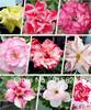 Colorful Adenium obesum Desert Rose Flower Mix Seeds 20 PCS Free Shipping