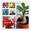 Colorful Bonsai Desert Rose Flower Seeds 25pcs Mix Seeds Free Shipping