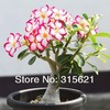 Desert Rose Seeds Adenium obesum Flower Seeds 20 PCS Free Shipping